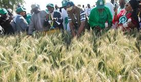 Nigeria's wheat production output suffers setback