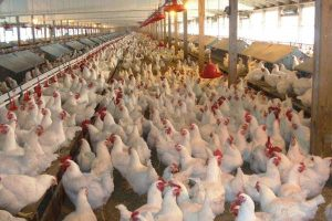 How To Set Up A Standard Poultry Farm In Nigeria
