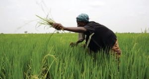 How To Start A Rice Farming Business In Nigeria