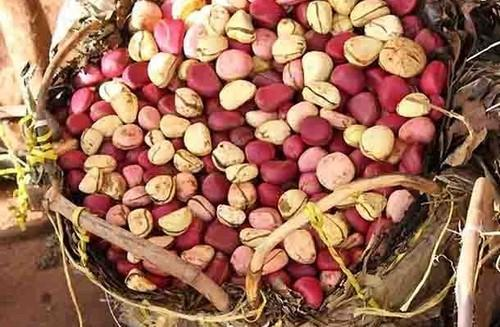 Harnessing Kola Nut Business For Export