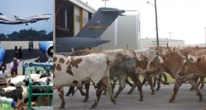 Aviation Safety: Cows Inimical To Airport Runways