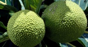 Starting A Lucrative Breadfruit Farming and Export Business In Nigeria