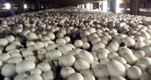 How To Grow Mushrooms For Export