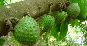 Economic Benefits Of Soursop Farming