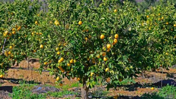 How to make N16m from orange yearly, by NIHORT specialist