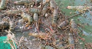 How To Operate A Lobster Farm For Export