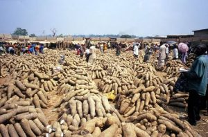 Revving Up Farmers' Profit In Yam Production With Technologies