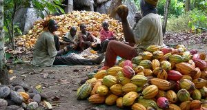 How To Start Cocoa Production Business In Nigeria
