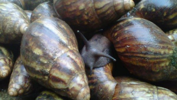 How To Do Snail Farming In Nigeria