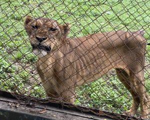 BEARS: Hungry Lions