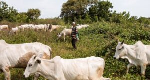 Nigeria's Dilemma Over Grazing Laws