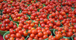 How To Manage A Successful Tomato Export Business